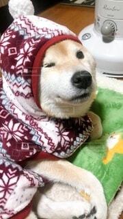 毛布の上に寝ている芝犬の写真・画像素材[4126582]