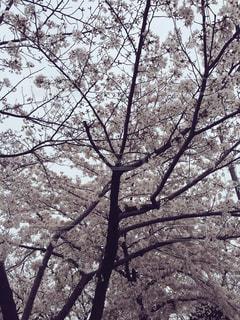 春 - No.242476