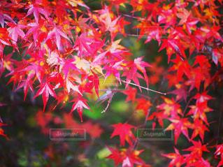 木の赤い花の写真・画像素材[856520]