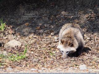未舗装の道路を横切ってタヌキの写真・画像素材[857906]