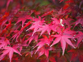 近くにピンクの花の木のの写真・画像素材[859664]