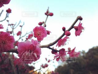 植物にピンクの花の写真・画像素材[1098691]