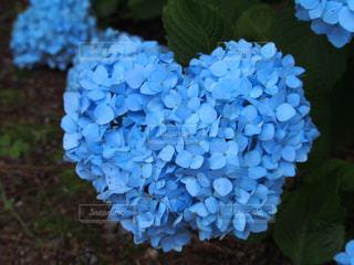 紫陽花の写真・画像素材[1267050]
