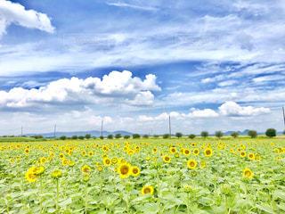 ひまわり畑の写真・画像素材[1355166]