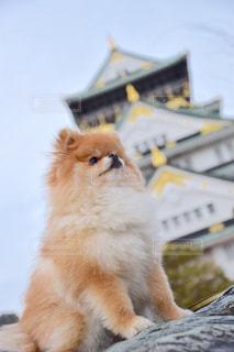 犬,ポメラニアン,散歩,城,大阪城,得意,俺の