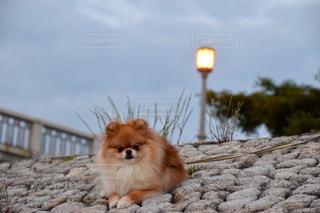 犬の写真・画像素材[520580]