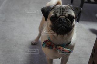 犬の写真・画像素材[466123]