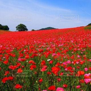 花の写真・画像素材[24311]