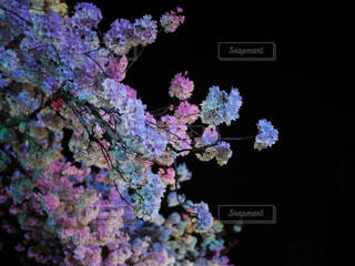 バンクーバーの夜桜3の写真・画像素材[1090368]