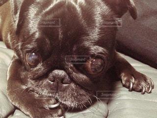 犬の写真・画像素材[244017]