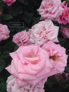 花の写真・画像素材[244115]