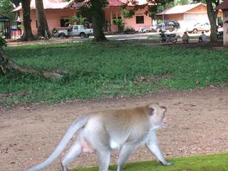 猿の写真・画像素材[244783]