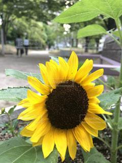 黄色の花の写真・画像素材[1263261]
