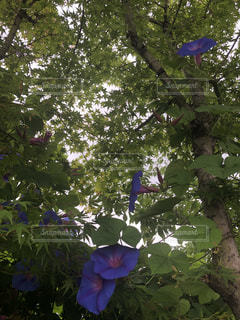 青紅葉と朝顔の写真・画像素材[2244354]
