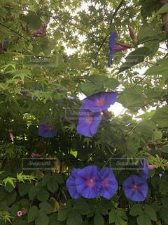 青紅葉と朝顔の写真・画像素材[2244378]