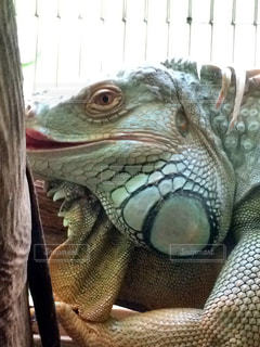 爬虫類の写真・画像素材[245596]