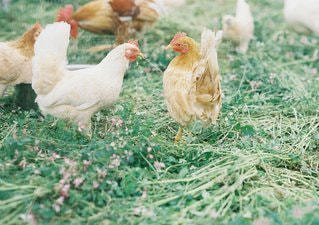 草の上に鶏立ってカバー フィールド - No.1294