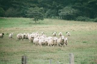 羊の写真・画像素材[1455]