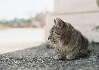 横になって、カメラを見ている猫の写真・画像素材[1167]