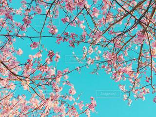 桜の写真・画像素材[353913]