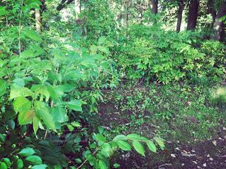 森の中の緑の植物の写真・画像素材[1274325]