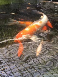 魚の写真・画像素材[455958]