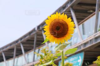 建物の前の黄色い花の写真・画像素材[2392773]