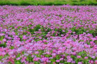 花畑の写真・画像素材[2396949]