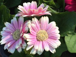 花束の写真・画像素材[375607]
