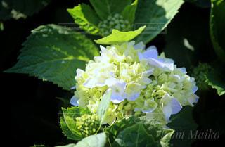 紫陽花 - No.424504