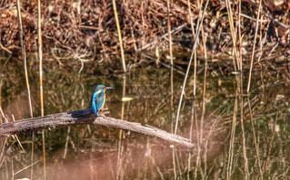 水辺の青い鳥の写真・画像素材[961324]