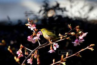 夕暮れの梅とメジロの写真・画像素材[1021178]