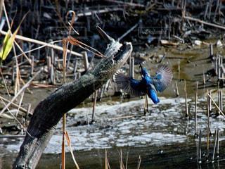 カワセミの羽の写真・画像素材[1033079]