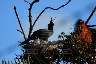 巣を守るの写真・画像素材[1042052]