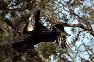 カワウの巣作りの写真・画像素材[1056916]