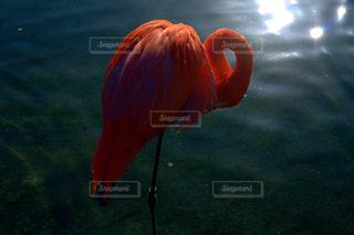 フラミンゴの写真・画像素材[1064568]