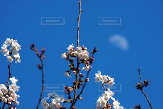桜と月の写真・画像素材[1087640]