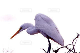 白鷺の写真・画像素材[1107240]