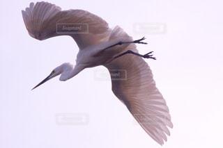 シラサギ飛翔の写真・画像素材[1112635]