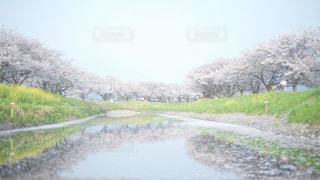 桜並木と空との写真・画像素材[1104727]