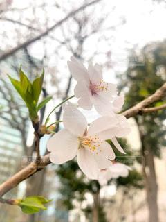 初春の写真・画像素材[1099223]