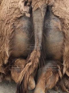 個性が溢れるラクダ君のお尻の写真・画像素材[267489]