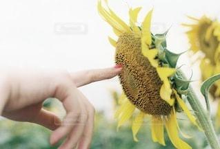 自然,風景,夏,向日葵,指