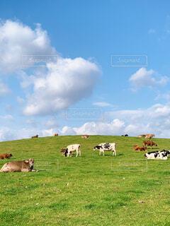 緑豊かな畑で放牧する牛の群れの写真・画像素材[4390766]