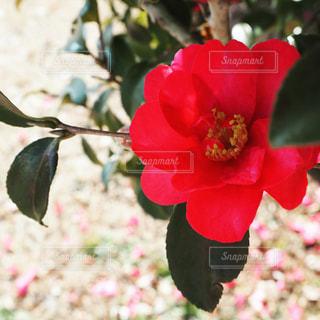 美しく赤く、雪混じっても燃える花の写真・画像素材[990137]