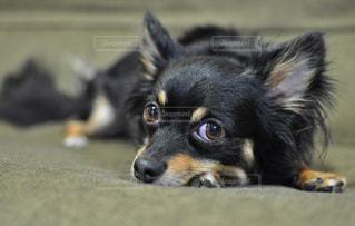 犬 - No.251478