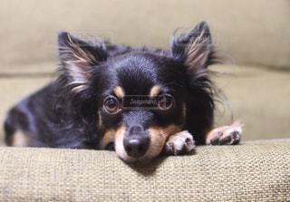 ソファで横になっている茶色と黒犬 - No.745193