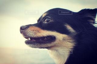 カメラを見て茶色と白犬 - No.858361
