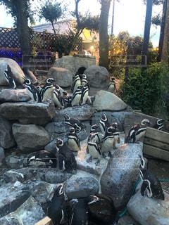 岩のペンギンの集団の写真・画像素材[3201519]
