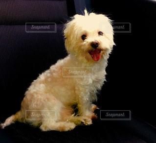 茶色と白の小型犬の写真・画像素材[1132070]